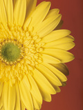 Yellow Zinnia Against Red Background Photographic Print