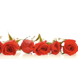 Row of Red Roses Photographic Print