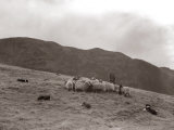 A Shepherd with His Border Collie Sheep Dogs Checks His Flock Somewhere on the Cumbrian Hills, 1935 Fotoprint