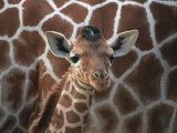 Baby Giraffe at Whipsnade Wild Animal Park Photographic Print