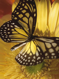 Black and Yellow Butterfly on Yellow Flower Photographic Print
