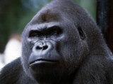 Gorilla Reprodukcja zdjęcia