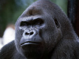 Gorilla Photographic Print