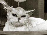 Bella the Persian Cat Gets a Soaking to Prepare Her for Shows, April 1985 Photographic Print