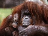 Orang-Utan Mother and Baby, April 1991 Photographie