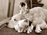 Golden Retriever Dog Adopts Kittens, 1964 Photographie