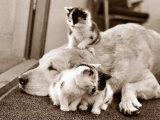 Golden Retriever Dog Adopts Kittens, 1964 Reprodukcja zdjęcia