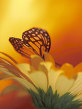 Monarch Butterfly on Daisy Photographic Print