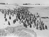 Penguins on the Beach at Dassen Island off the Coast of South Africa, 1935 Photographic Print
