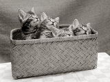 Four Kittens Inside a Wicker Basket, 1950s Photographic Print
