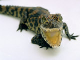 Want a Fight?: This Baby Alligator Has a Big Mouth at Bristol Zoo, November 1997 Impressão fotográfica