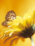 Black and Yellow Butterfly on Yellow Flower Reprodukcja zdjęcia