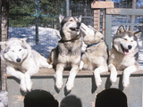 Husky Dogs in Kennel Photographic Print