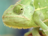 Green Chameleon Photographic Print