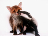 A Tale of Two Cubs, She's Always Badgering That Fox for a Kiss Photographic Print