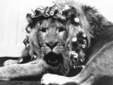 Sullivan the Lion with His Hair in Curlers at Knarsborough Zoo in Yorkshire Fotodruck