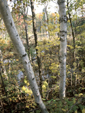 Birch Tree Along Lakeshore Photographic Print