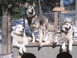 Cute Huskies in Dog Kennel Photographic Print