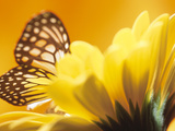Monarch Butterfly on Daisy Photographie