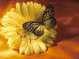 Black and Yellow Butterfly on Yellow Flower Photographie