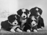Scotch Bearded Collie Four Unidentified Puppies Owned by Willison Photographic Print by Thomas Fall