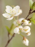 White Apple Blossom Fotografie-Druck