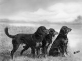 Jack Judy and Jill of Cromux Three Gordon Setters in a Field Owned by Eden Photographic Print by Thomas Fall