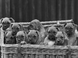 Basket-Full of Boxer Puppies with Their Adorable Wrinkled Heads Photographic Print by Thomas Fall