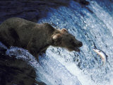 A Bear Trying to Catch a Fish Photographic Print