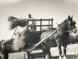 Harvesting in Sussex with a Shire Horse and Cart Lámina fotográfica