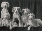 Group of Five Beautiful Saluki Puppies Owned by Mrs Barrs Photographic Print by Thomas Fall