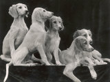 Group of Five Saluki Puppies Owned by Mrs Barrs Photographic Print by Thomas Fall