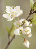 White Apple Blossom Photographic Print