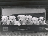 Six Puppies Photographic Print by Thomas Fall