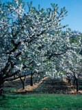 Blossoming Orchard Photographic Print