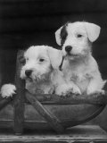 Two Unnamed Sealyhams Sitting in a Trug Photographic Print by Thomas Fall