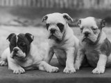 Three Bulldog Puppies Owned by Monkland Photographic Print by Thomas Fall