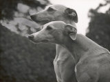 The Heads of Two Whippets Owned by Whitwell Photographic Print by Thomas Fall