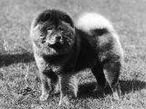 Champion Choonam Hung Kwong Crufts, Best in Show, 1936 Photographic Print by Thomas Fall