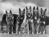 "Group of Mrs Leslie Thornton's Celebrated ""Southdown"" Alsatians Photographic Print by Thomas Fall"