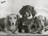 "Three Dachshunds Sitting Together from the ""Priorsgate"" Kennel Owned by Sherer Photographic Print by Thomas Fall"