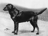 Dual Champion Bramshaw Bob Crufts, Best in Show, 1932 and 1933 Photographic Print by Thomas Fall