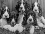 Five Large Spaniel Puppies Crowded in a Basket Owner: Browne Photographic Print by Thomas Fall