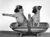 Two Unnamed Griffons Owned by Scholfield Sitting in a Trug Photographic Print by Thomas Fall