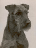 Jester the Head of a Welsh Terrier Photographic Print by Thomas Fall