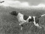 Field Trials Champion Banchory Grouse Owned by Lorna Countess Howe Photographic Print by Thomas Fall