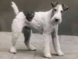 An Unidentified Dog Photographic Print by Thomas Fall
