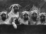 Row of Mastiff Puppies Owned by Oliver Photographic Print by Thomas Fall