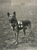 Malinois (Belgian Shepherd Dog) Trained for Work as a French Red Cross Dog Reproduction photographique