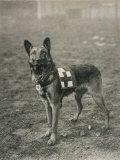 Malinois (Belgian Shepherd Dog) Trained for Work as a French Red Cross Dog Reprodukcja zdjęcia